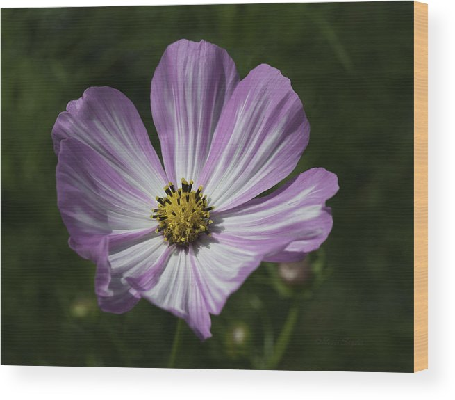 Beautiful Photos Wood Print featuring the photograph Striped Cosmos 1 by Roger Snyder