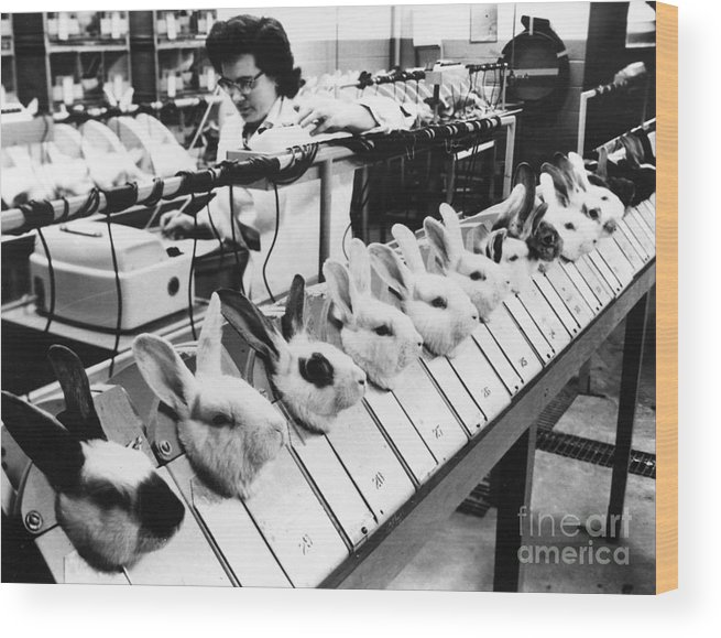 1957 Wood Print featuring the photograph Tests On Animals, 1957 by Granger