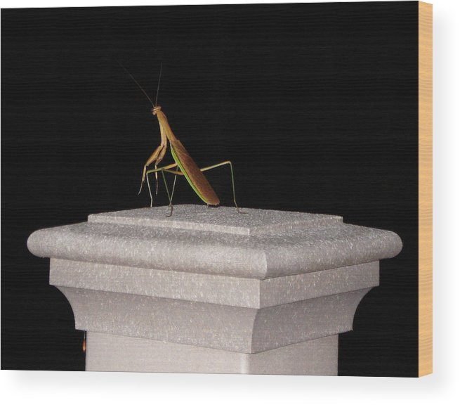 Praying Mantis Wood Print featuring the photograph The Prince Of Darkness by Kevin Callahan