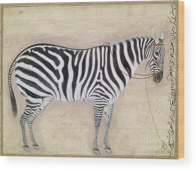 1620 Wood Print featuring the photograph Zebra, C1620 by Granger