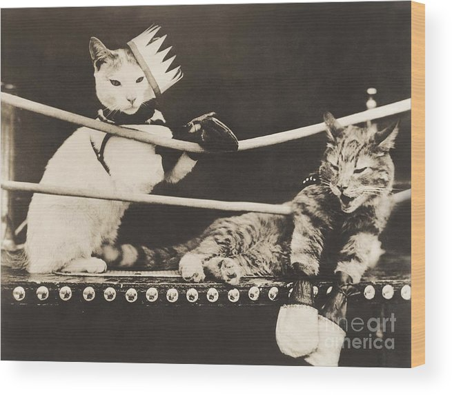 1910s Wood Print featuring the photograph Cat Fight by Everett Collection