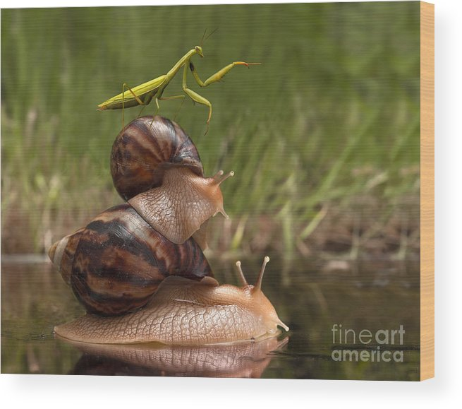 Small Wood Print featuring the photograph Closeup Praying Mantis Riding On Snails by Torook