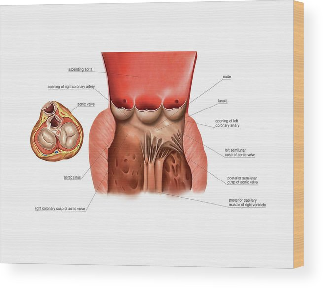Aortic Valve Of The Heart Wood Print By Asklepios Medical Atlas