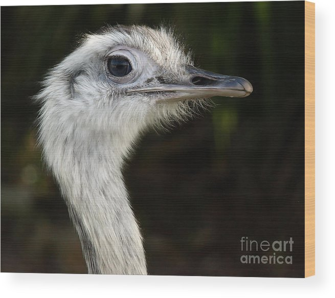 Ostrich Wood Print featuring the photograph Ostrich by Raymond Earley