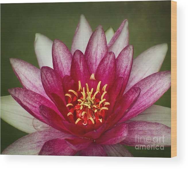 Water Lily Wood Print featuring the digital art Wide Open by Claudia Kuhn