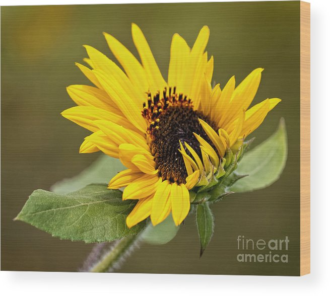 Sunflower Wood Print featuring the photograph A Bit Shy by Claudia Kuhn
