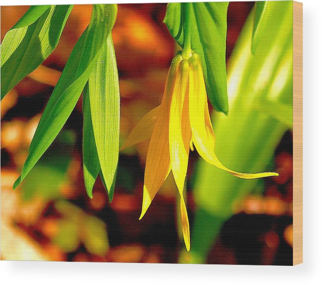 Susan Wood Print featuring the photograph Bellwort On Display by Susan Crossman Buscho