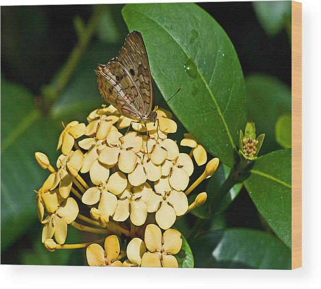 Butterflies Wood Print featuring the photograph Butterfly Ins 17-1 by G L Sarti