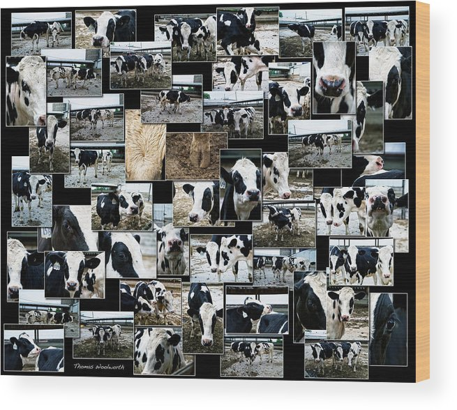 Collage Wood Print featuring the photograph Cows Collage by Thomas Woolworth