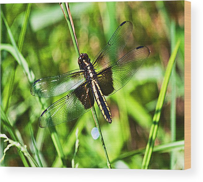 Insects Wood Print featuring the photograph Dragonfly Ins 22 by G L Sarti