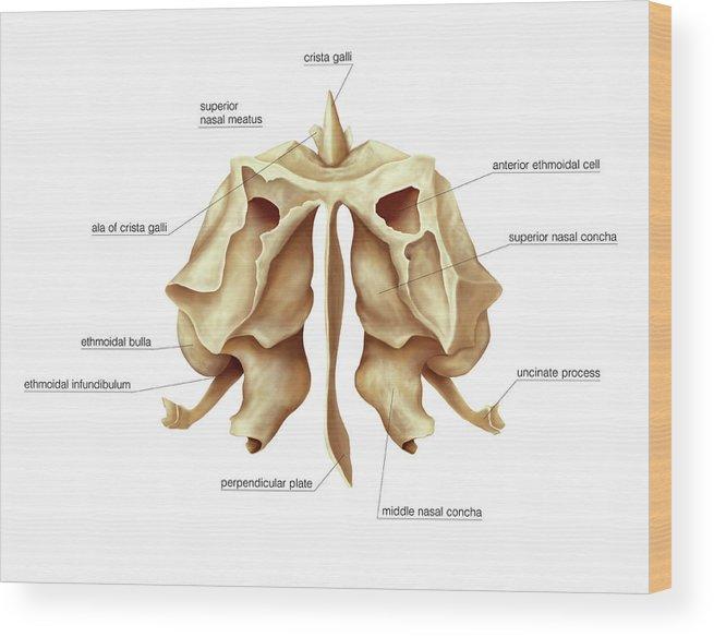 Ethmoidal Bone Wood Print By Asklepios Medical Atlas
