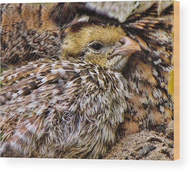 Quail Wood Print featuring the photograph In Sheltered Love by Shannon Story
