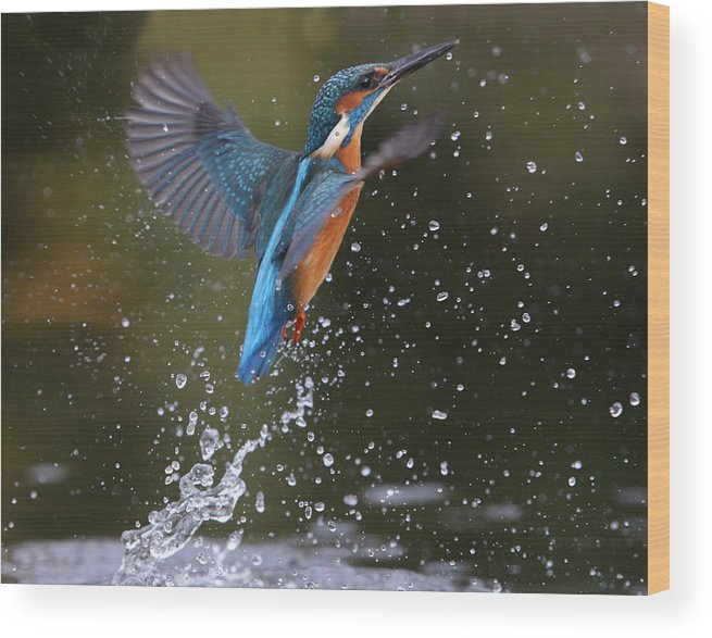 Bird Wood Print featuring the photograph Kingfisher by Mike Lane