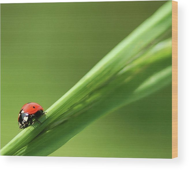 Ladybird Wood Print featuring the photograph Ladybird On Green Leaf by Cliff Norton