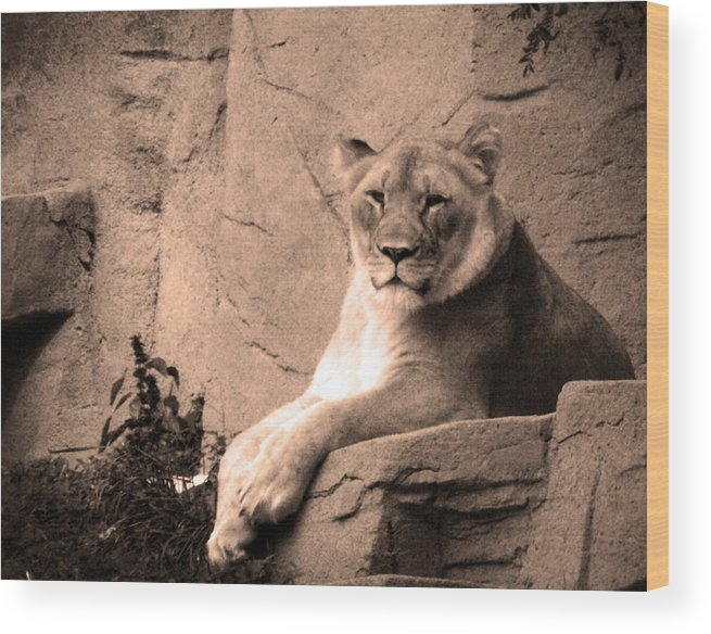 Lion Wood Print featuring the photograph Mama Lion by Richelle Munzon