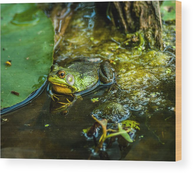 Optical Playground By Mp Ray Wood Print featuring the photograph Reflections Of A Bullfrog by Optical Playground By MP Ray