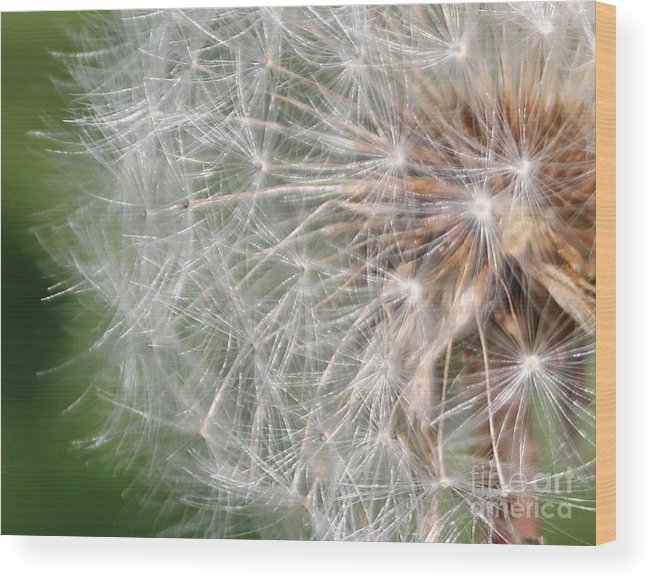 Dandelion Wood Print featuring the photograph Children's Favorite by Bev Veals
