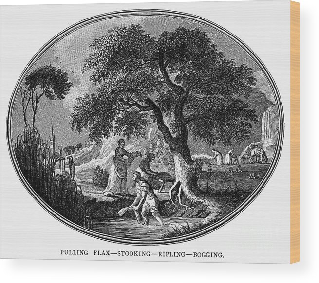 1800 Wood Print featuring the photograph England: Pulling Flax by Granger