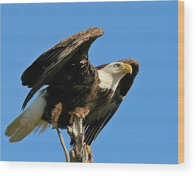 Adult Wood Print featuring the photograph Spread Wings by Ira Runyan