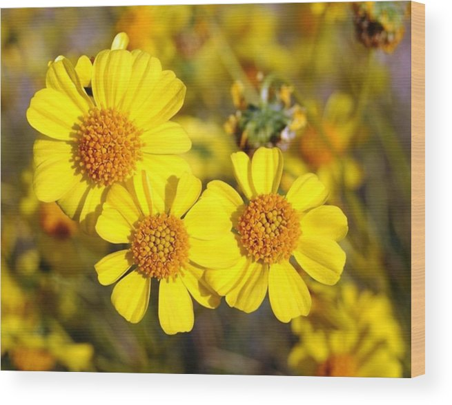 Three Wood Print featuring the photograph Triple Beauty by Shawna Cansdale