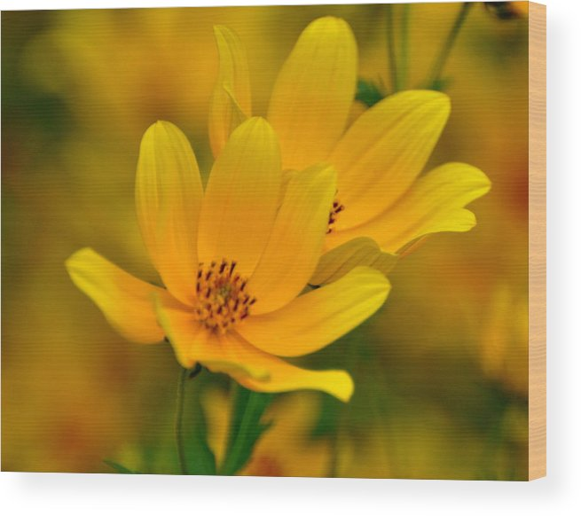 Wild Flower Wood Print featuring the photograph Yellow Blaze by Marty Koch