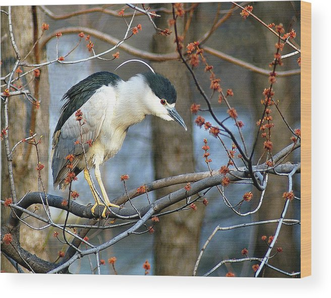 Birds Wood Print featuring the photograph Black-crowned Night Heron by Neil Doren