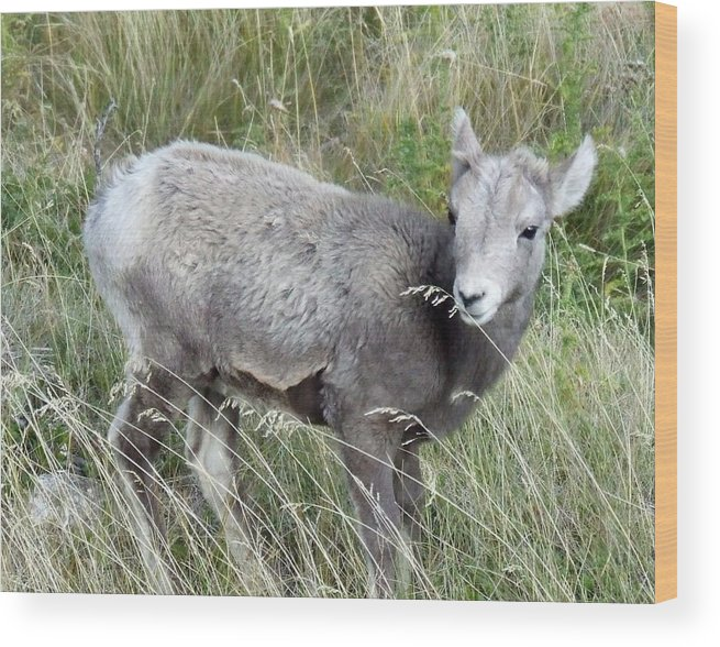 Baby Wood Print featuring the photograph Baby Bighorn by Tiffany Vest