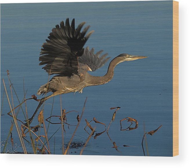 Great Blue Heron Wood Print featuring the photograph Blue Heron 2 by Peter Gray