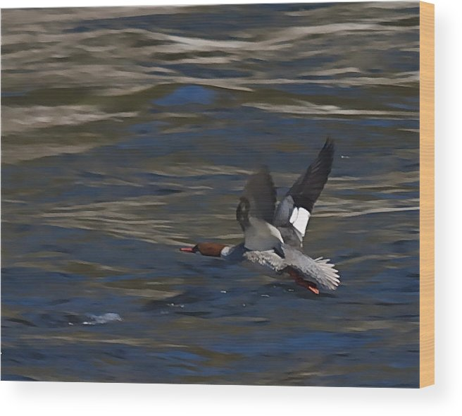 Ducks Wood Print featuring the photograph Common Merganser Duck by Peter Gray