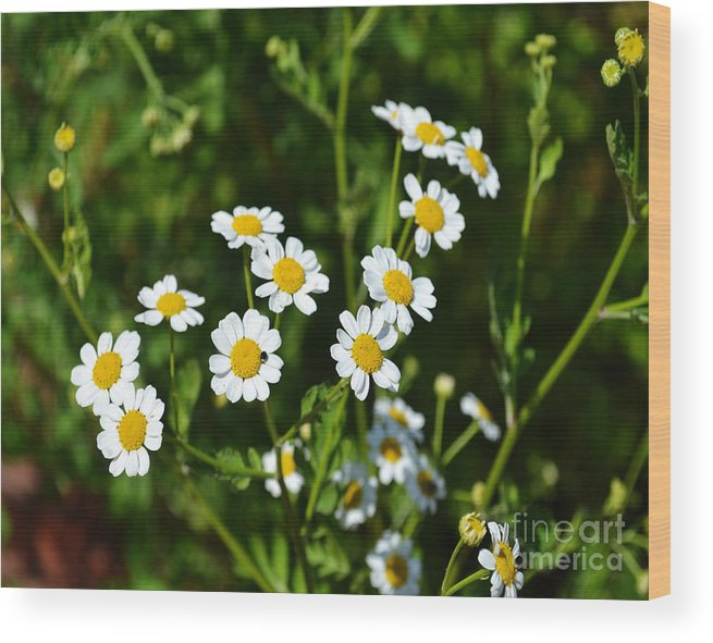 Wild Flowers Wood Print featuring the photograph Daisies by Eva Thomas