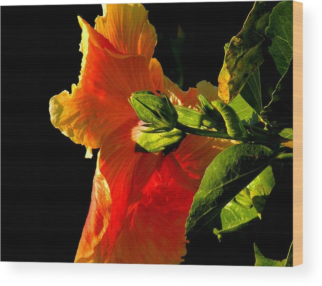 Flowers Wood Print featuring the photograph Hibiscus In The Light by Rosalie Scanlon