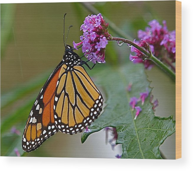 Monarch Wood Print featuring the photograph Monarch In The Rain by Peter Gray