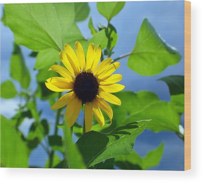 Sunflower Wood Print featuring the photograph Monsoon Sunflower by Heather S Huston