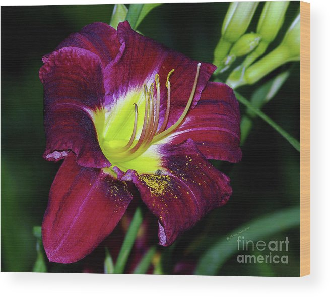 Fine Art Photography Wood Print featuring the photograph Patricia Neal Daylily by Patricia Griffin Brett