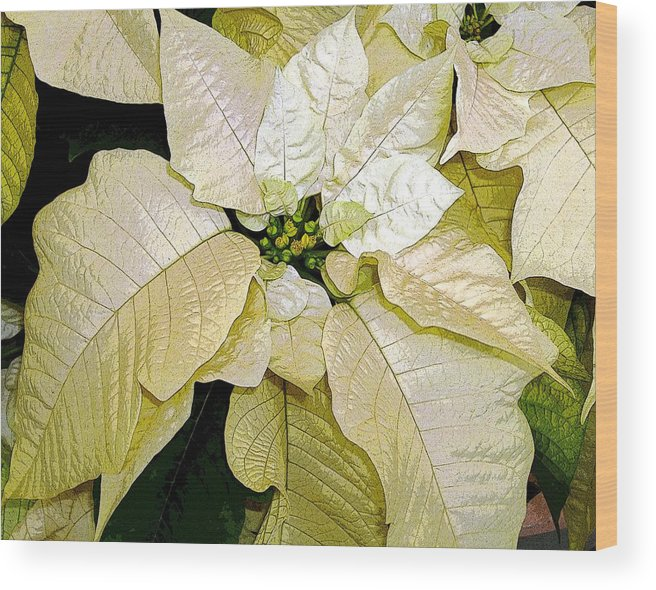 Poinsettias Wood Print featuring the photograph Poinsettias In White by Mindy Newman
