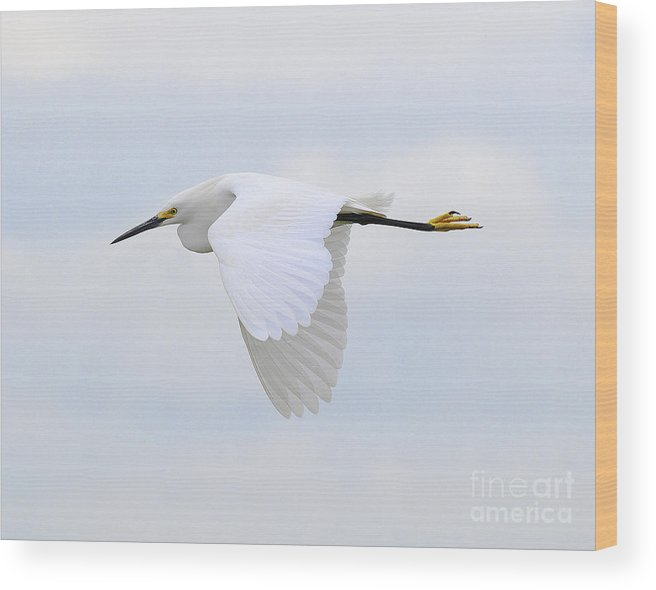 Bird Wood Print featuring the photograph Pure White by Dennis Hammer