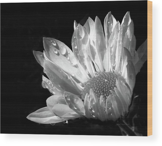 Daisy Wood Print featuring the photograph Raindrops On Daisy Black And White by Jennie Marie Schell