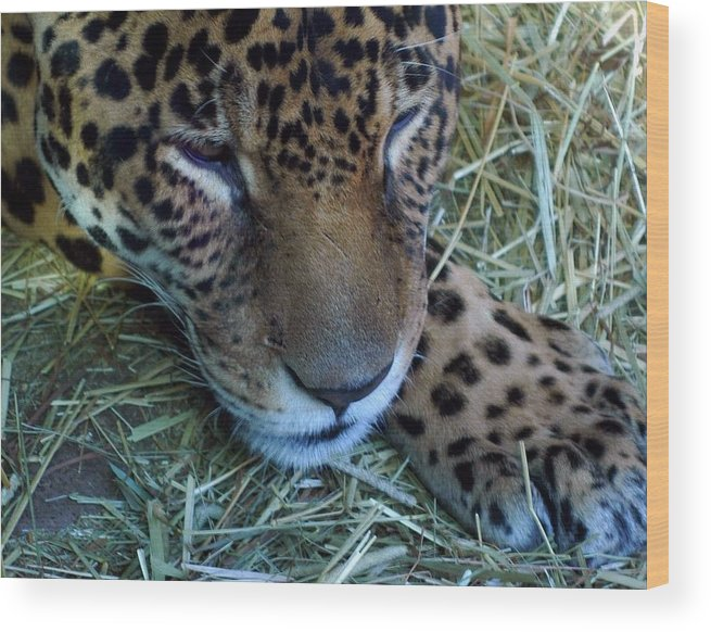 Leopard Wood Print featuring the photograph Sleepy Leopard by Lori Seaman