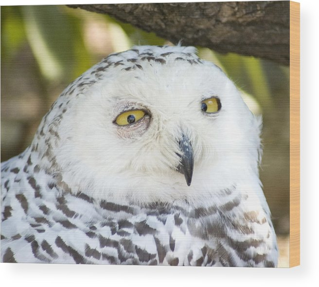 Owl Wood Print featuring the photograph Snowy Owl by Jerry Weinstein