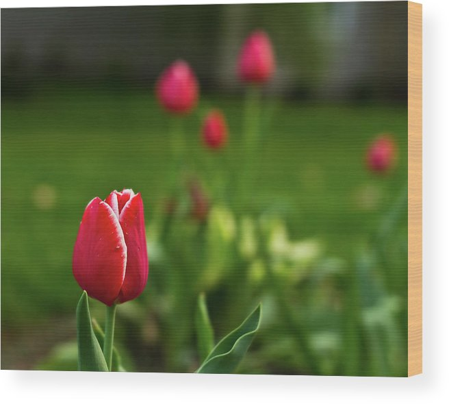 Tulip Wood Print featuring the photograph Tulips IIi by Tim Fitzwater