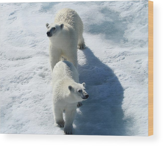 Arctic Polar Bear Cubs Twins Ice Animals Endangered Cold Snow Bears Mother Curious Double Frozen Wood Print featuring the photograph Twins by Jacob Schran