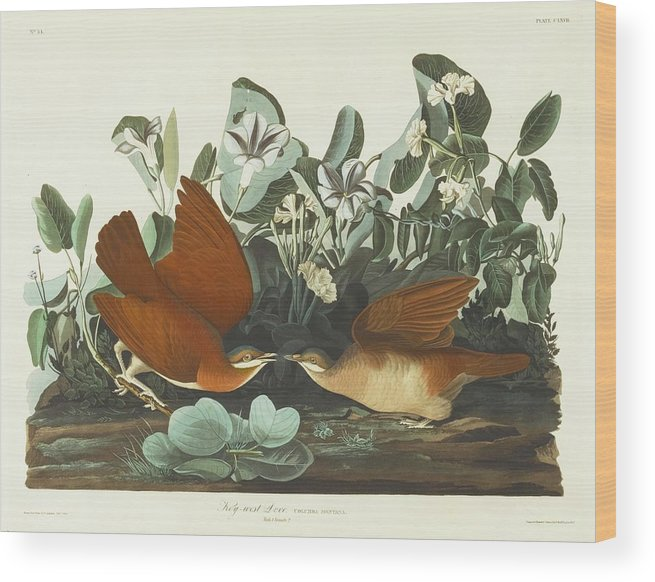 John James Audubon (after) Key-west Dove (plate Clxvii) Wood Print featuring the painting West Dove by MotionAge Designs