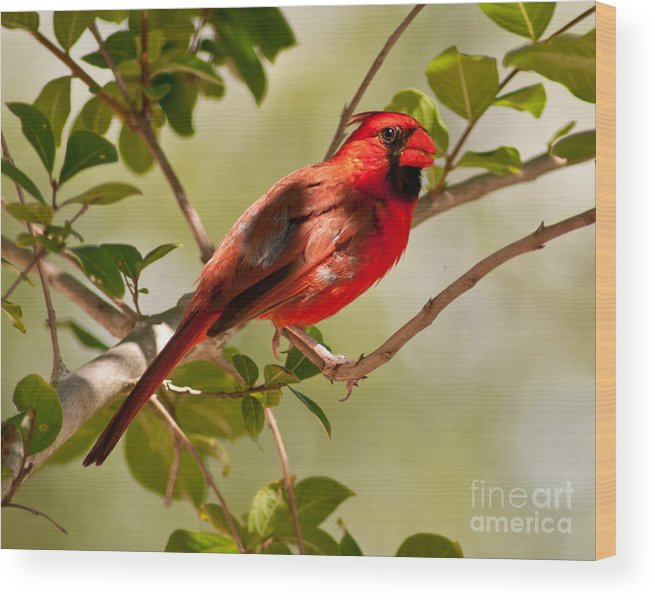Male Wood Print featuring the photograph Red Cardinal by Stephen Whalen