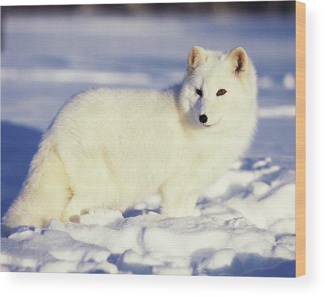 Alaska Wood Print featuring the photograph Usa, Alaska Arctic Fox In Winter Coat by Jaynes Gallery