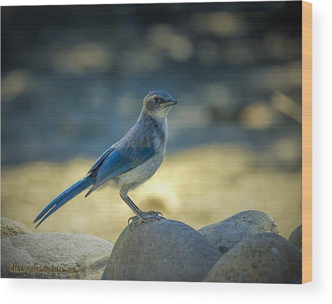 Blue Jay Wood Print featuring the photograph Western Scrub Jay Thief by LeeAnn McLaneGoetz McLaneGoetzStudioLLCcom