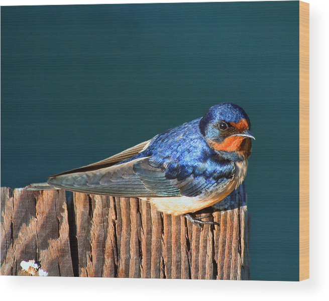 Swallow Wood Print featuring the photograph Barn Swallow Perching by Bob and Jan Shriner