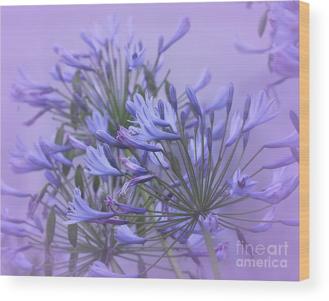 Agapanthus Wood Print featuring the photograph Blue Mist by Judi Bagwell