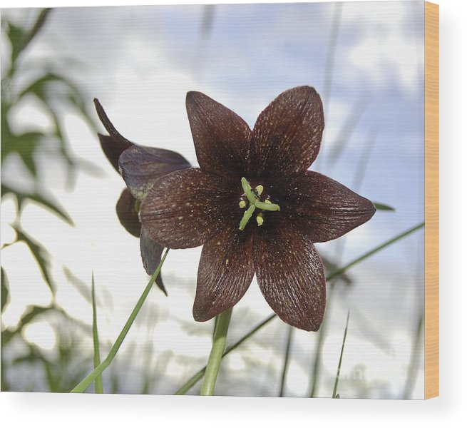 Photography Wood Print featuring the photograph Chocolate Liliy by Terry Cotton