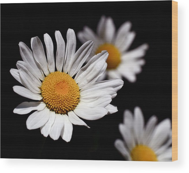Daisies Wood Print featuring the photograph Daisies by Rona Black