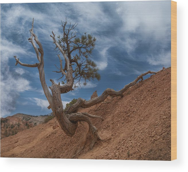 Bristlecone Pine Wood Print featuring the photograph Determined by Nichon Thorstrom